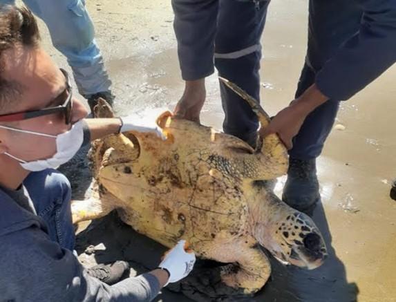Denize atılan iğnelerin yaraladığı Caretta Caretta'yı Büyükşehir ekipleri kurtardı